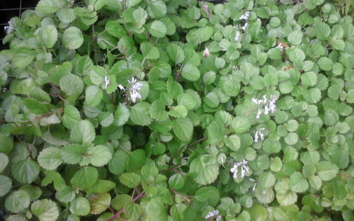 10 Swedish Ivy - Plectranthus verticillatus - Transplants, Plant Starts, Plugs