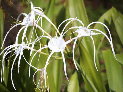 6 Mature Spider Lily - Hymenocallis caribaea - Plants / Bulbs -Beautiful Flowers