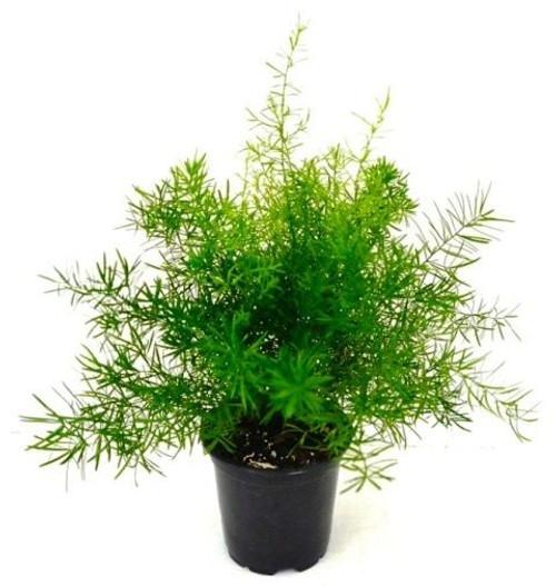 """Asparagus sprengeri - Asparagus aethiopicus - 4"""" Pot"""