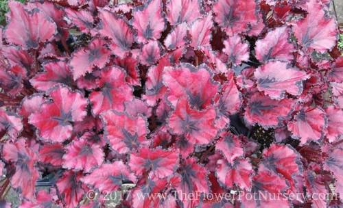 """Rex Begonia - Red Robin - 4"""" Pot"""