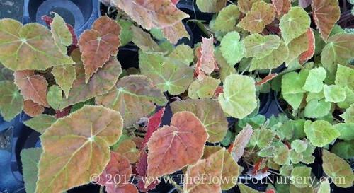 "Rex Begonia - Autumn Embers - 4"" Pot"
