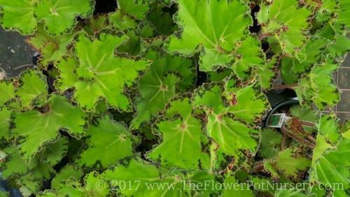 """Rex Begonia - River Nile - 4"""" Pot"""