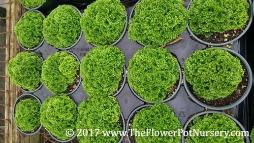 "Pin-cushion Spikemoss -Selaginella kraussiana 'Brownii'  - 4"" Pot - Fairy Garden"