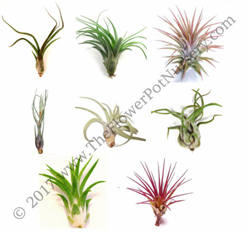 FlowerPotNursery Lot of 10 Air Plants Tillandsia spp. Small Premium Assorted