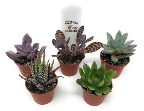 "FlowerPotNursery - Assorted Succulents - Spp. spp. - 2"" Pot (5 Plants)"