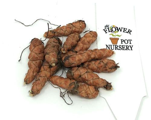 FlowerPotNursery Oxalis regnellii - Shamrock - Bare Root - 10 Bulbs 1 Inch