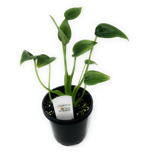 "FlowerPotNursery Alocasia Tiny Dancers (Elephant Ear) 4"" Pot"