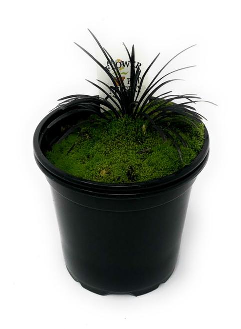 "FlowerPotNursery Dwarf Black Mondo 'Nana' Ophiopogon japonicus nigrescens Nana 4"" Pot"