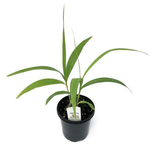 "FlowerPotNursery Chinese Ground Orchid Bletilla striata Big Bob 4"" Pot"
