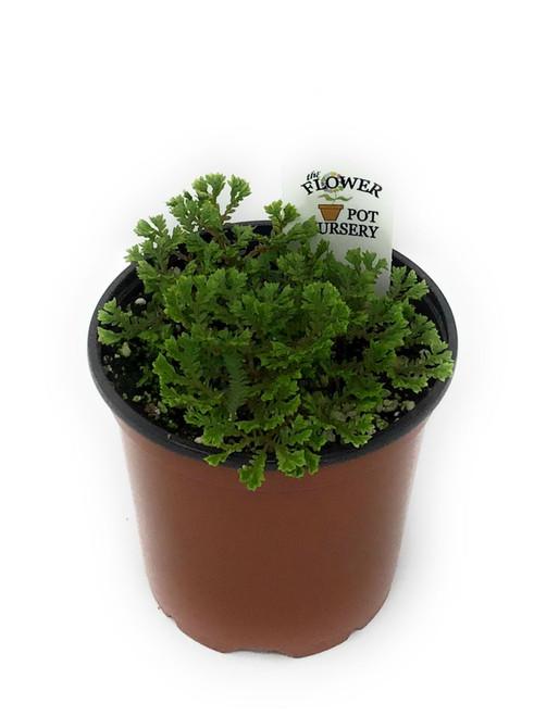 "FlowerPotNursery Emmeliana Spikemoss Selaginella sp. Emmeliana 4"" Pot"