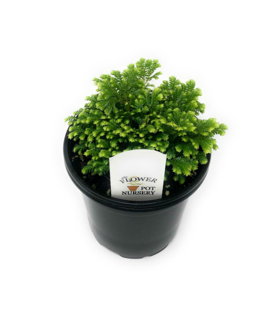 "FlowerPotNursery Frosty Fern Spikemoss Selaginella kraussiana Variegatus 4"" Pot"
