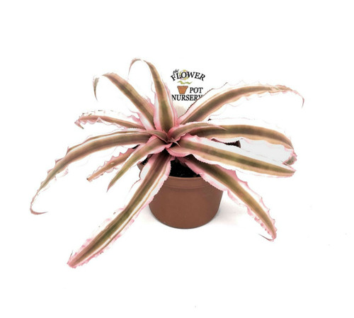 "FlowerPotNursery Earth Star Bromeliad Pink Cryptanthus bivittatus 3"" Pot"