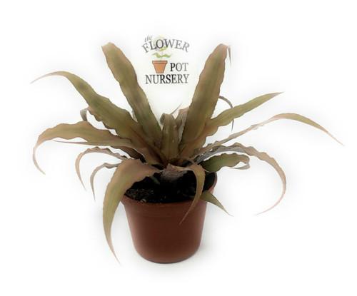 "FlowerPotNursery Earth Star Bromeliad Red Cryptanthus bivittatus 2"" Pot"