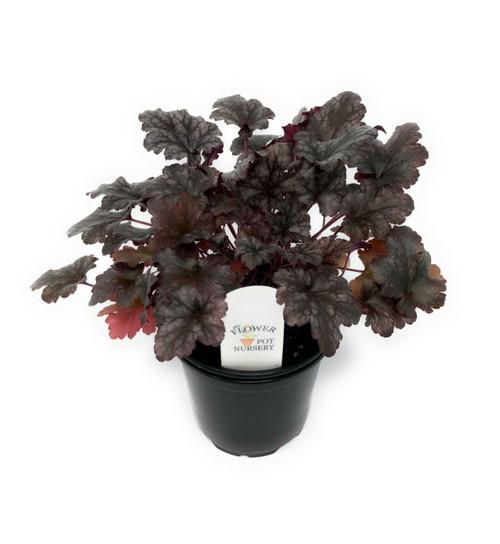 "FlowerPotNursery Heuchera Plum Pudding Coral Bells Heuchera sp. Plum Pudding 4"" Pot"