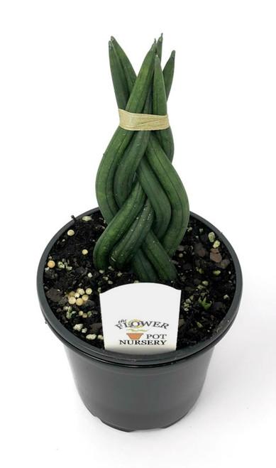"FlowerPotNursery Cylindrical Snake Plant Sansevieria cylindrica Braided 4"" Pot"