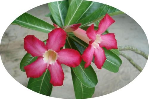 """FlowerPotNursery Desert Rose Red Adenium obesum 4"""" Pot"""