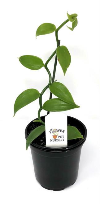 """FlowerPotNursery Green Vanilla Orchid Vanilla planifolia 4"""" Pot"""