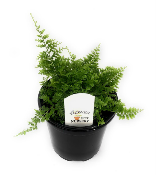 "FlowerPotNursery Cotton Candy Fern Nephrolepis exaltata Cotton Candy 4"" Pot"