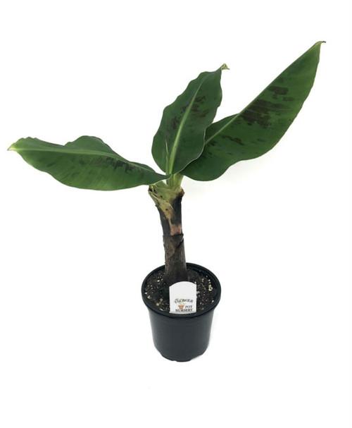 """FlowerPotNursery Musa Poquito Dwarf Banana PP#26424 Musa sp. Poquito 4"""" Pot"""