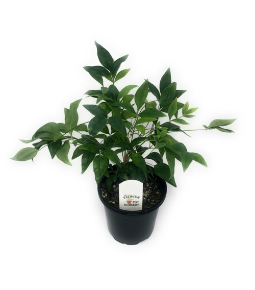 """FlowerPotNursery Nandina Fire Power Dwarf Nandina domestica FirePower 4"""" Pot"""