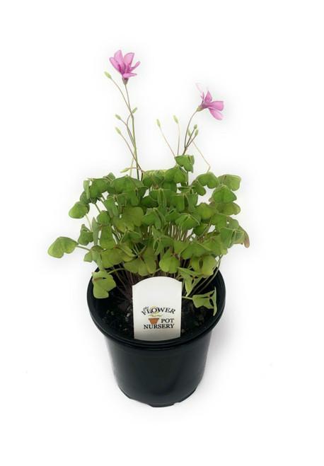 """FlowerPotNursery Shamrock Plant Pink Pillow Oxalis articulata Pink Pillow 4"""" Pot"""