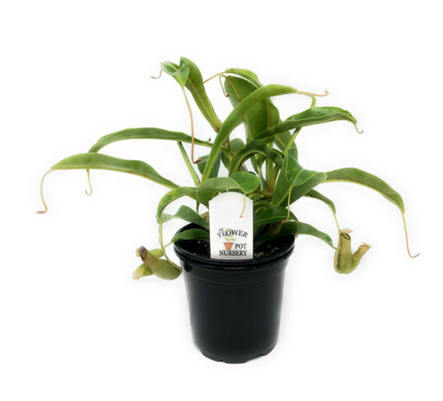 "FlowerPotNursery Pitcher Plant Alata Nepenthes alata 4"" Pot"