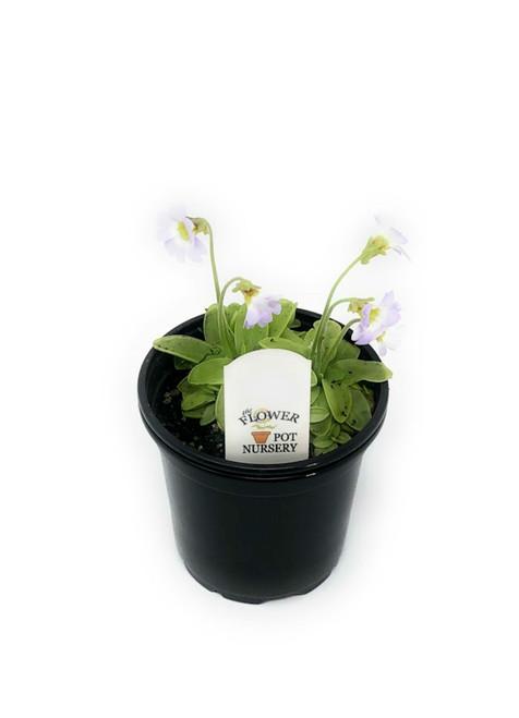 "FlowerPotNursery Primrose Butterwort Sundew Primuliflora pinguicula 4"" Pot"