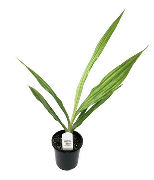 "FlowerPotNursery Ground Orchid Tropical Ice Gastrophaius Dan Rosenberg 4"" Pot"