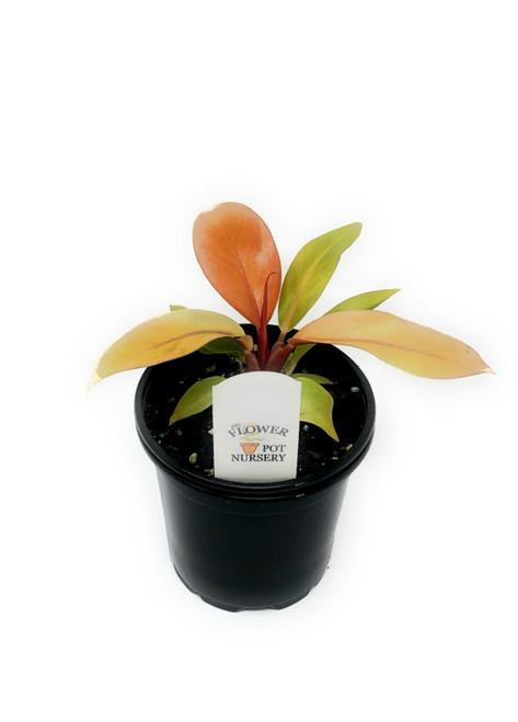 "FlowerPotNursery Prince of Orange Philodendron P. sp. Prince of Orange 4"" Pot"