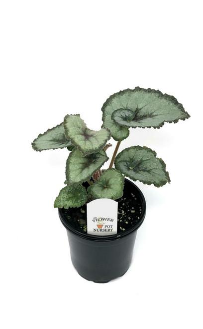 "FlowerPotNursery Rex Begonia Escargot Begonia rex Escargot 4"" Pot"