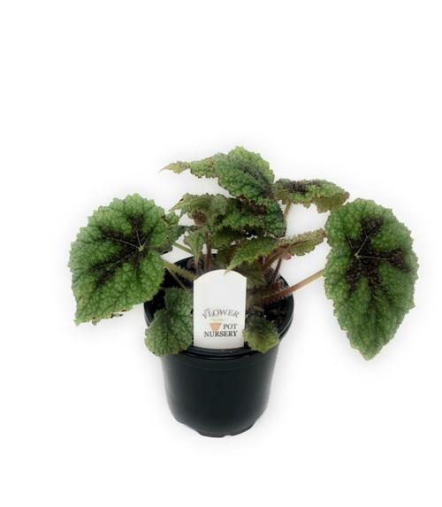 "FlowerPotNursery Rex Begonia Iron Cross Begonia masoniana Iron Cross 4"" Pot"