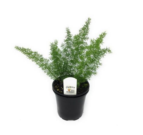 """FlowerPotNursery Asparagus Foxtail Fern Asparagus meyeri / aethiopicus 4"""" Pot"""