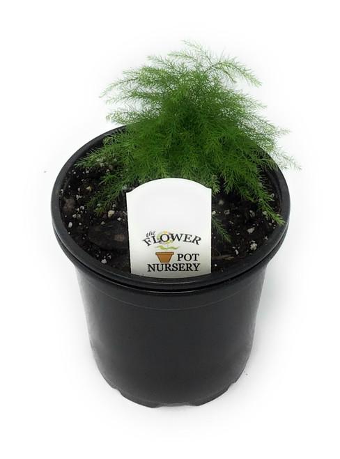 "FlowerPotNursery Asparagus Plumosa Asparagus setaceus 4"" Pot"