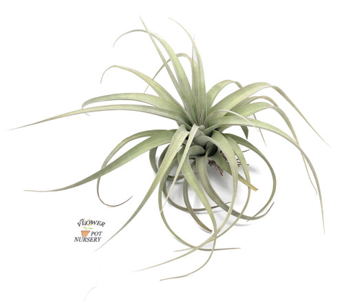 FlowerPotNursery Tillandsia Xerographica Medium T. xerographica Bare Root 8-10""