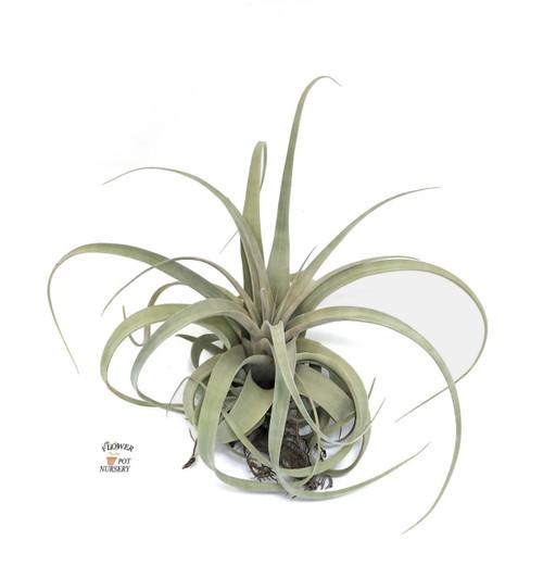 "FlowerPotNursery Tillandsia Xerographica Large T. xerographica Bare Root 10-12"""