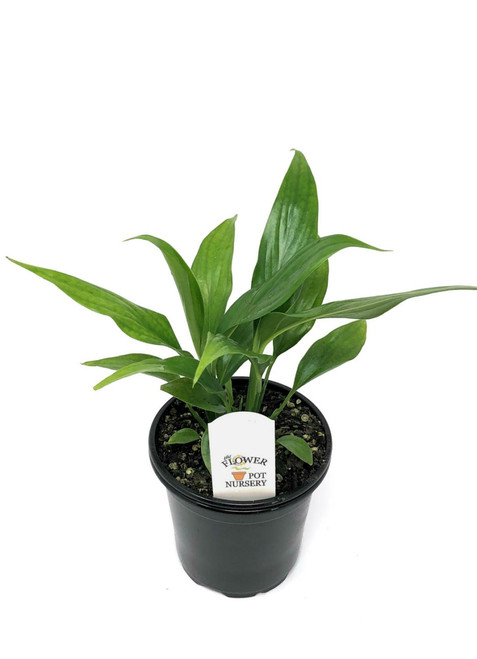 "FlowerPotNursery Spathiphyllum Dario Peace Lily S. wallisii Dario 4"" Pot"