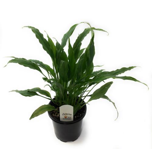 "FlowerPotNursery Spathiphyllum Starlight™ Peace Lily S. sp. Starlight 4"" Pot"