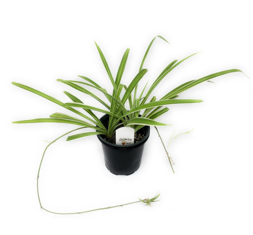 "FlowerPotNursery Spider Plant Inverted Chlorophytum comosum Inverted 4"" Pot"