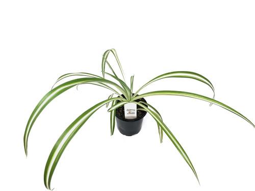 """FlowerPotNursery Spider Plant Variegated Chlorophytum comosum Variegatum 4"""" Pot"""