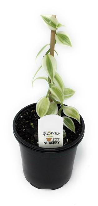 """FlowerPotNursery Variegated Vanilla Orchid Vanilla planifolia variegata 4"""" Pot"""