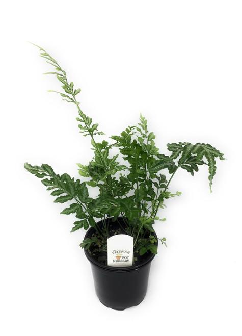 """FlowerPotNursery Variegated Brake Fern Pteris ensiformis Evergemiensis 4"""" Pot"""