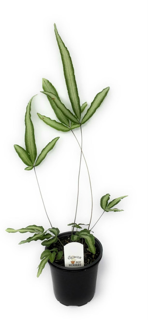 "FlowerPotNursery Variegated Cretan Brake Fern Pteris cretica Albo-lineata 4"" Pot"