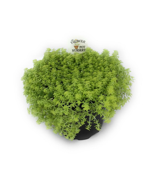 "FlowerPotNursery Gold Moss Sedum Golden Carpet Stonecrop Sedum acre Gold 4"" Pot"