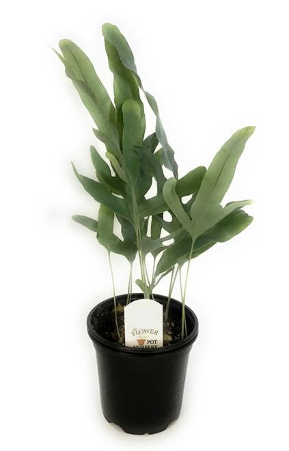 "FlowerPotNursery VirginiaBlue Fern Polypodium pseudo-aureum Virginia Blue 4"" Pot"