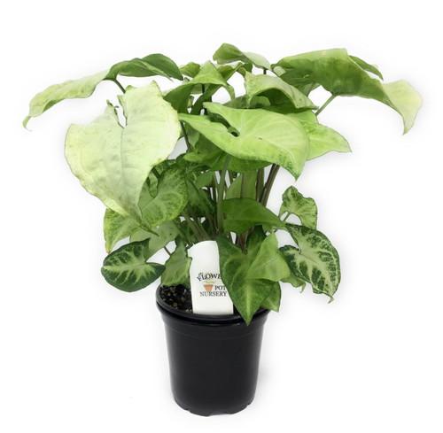 "FlowerPotNursery Arrowhead Plant Syngonium podophyllum White Butterfly 4"" Pot"