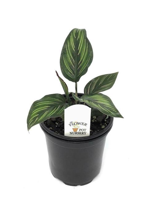 "FlowerPotNursery Calathea Beauty Star Calathea Ornata Beauty Star 4"" Pot"