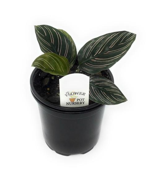 "FlowerPotNursery Pin Stripe Calathea Calathea Ornata Sanderiana 4"" Pot"