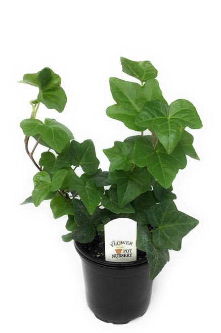 "FlowerPotNursery English Ivy Green Hedera helix Green 4"" Pot"