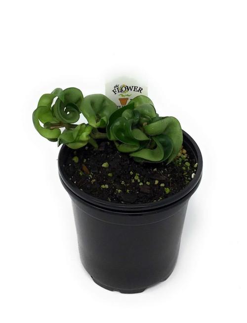 "FlowerPotNursery Hindu Rope Hoya Wax Plant Hoya carnosa Hindu Rope 4"" Pot"