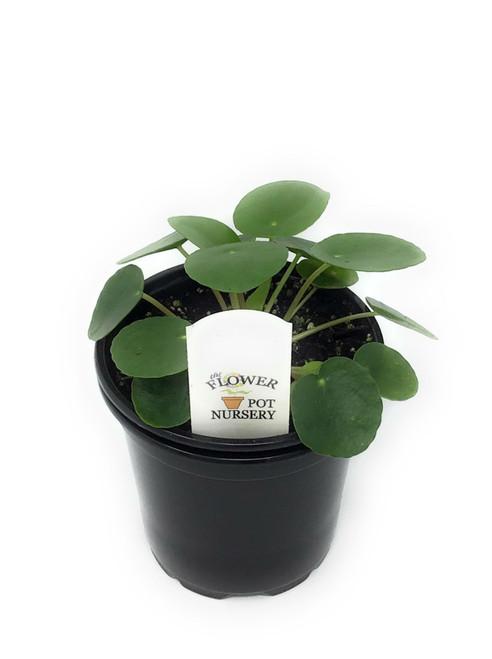 "FlowerPotNursery Chinese Money Plant UFO Plant Pilea peperomioides 4"" Pot"